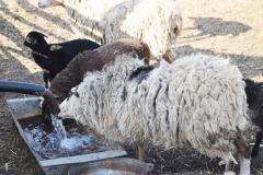 Овцеводство 2