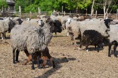 Овцеводство 3