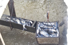 otgruzka-ryby-2