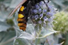 800px-scolia_maculata1